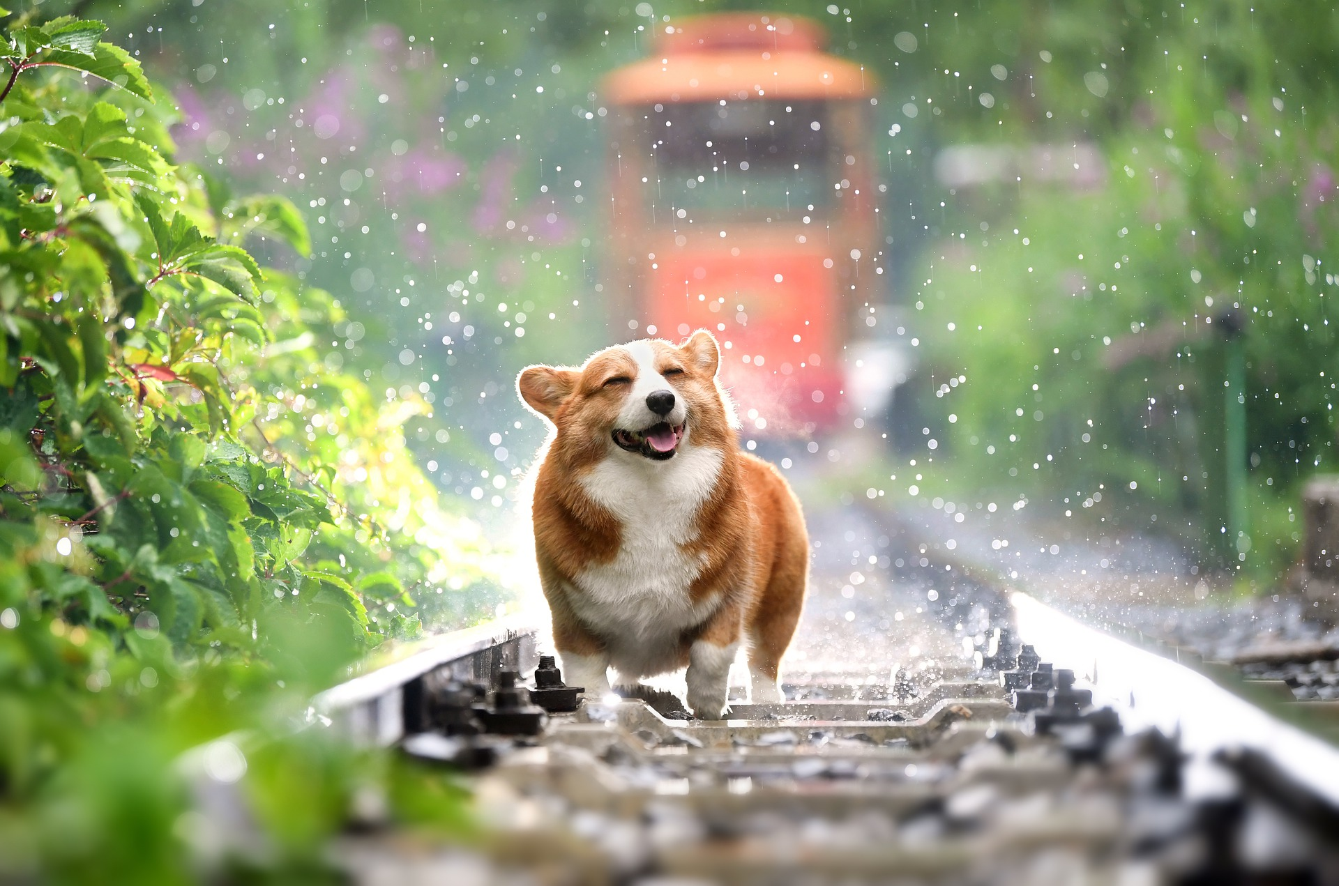 oblivious happy dog on railroad track running towards camera train oncoming